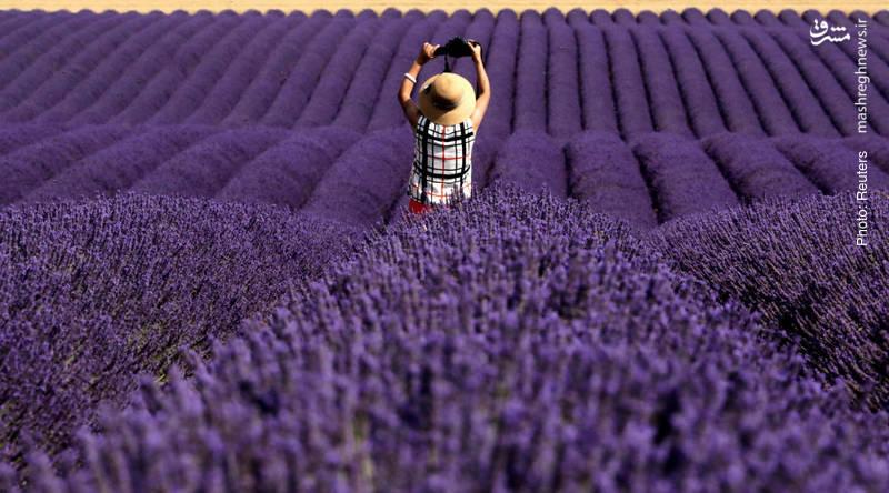 جذب گردشگر با مزرعه اسطوخدوس در فرانسه